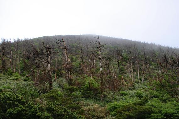 17 地蔵岳のオオシラビソ.jpg